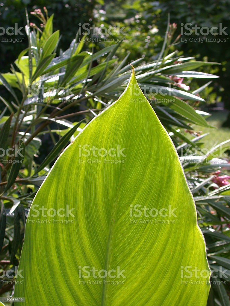 big green leaf royalty-free stock photo
