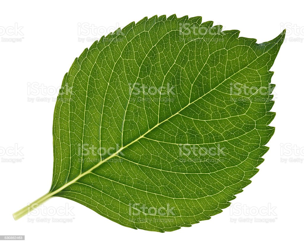 Big green leaf with very detailed veins stock photo