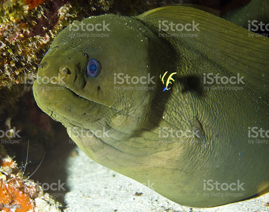 Big Green Moray Eel and Baby French Angel royalty-free stock photo