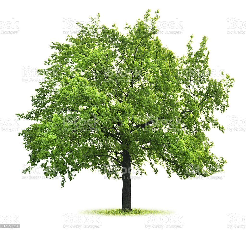 Big green oak stock photo