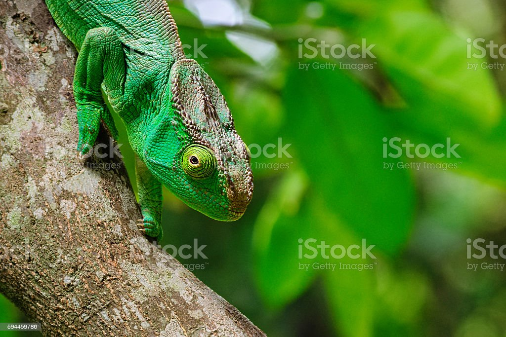 Big green Parson's giant chameleon in Madagascar stock photo