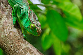 Big green Parson's giant chameleon in Madagascar