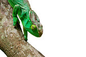 Big green Parson's giant chameleon isolated on white background