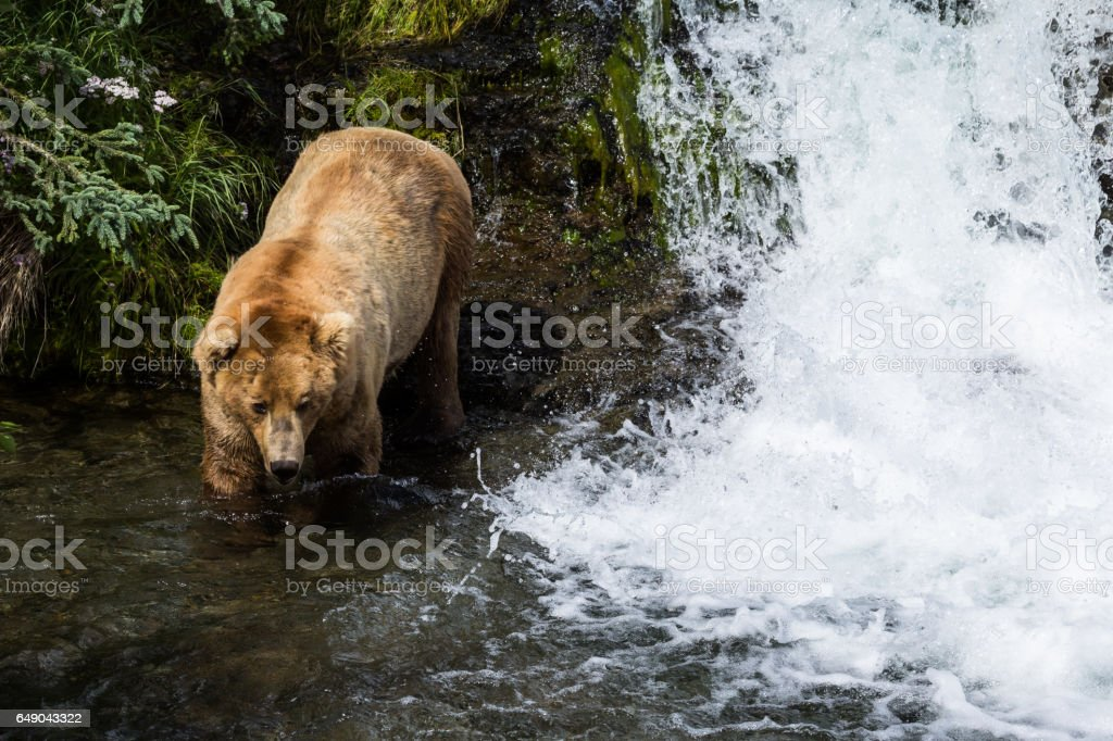Big grizzly bear walking next to waterfall stock photo