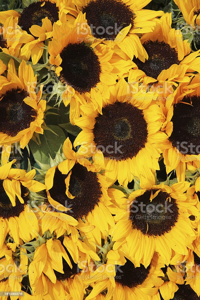 Big group of sunflowers royalty-free stock photo