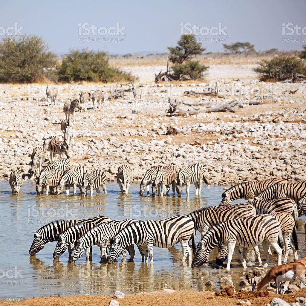 Big Group of Zebras Drinking at Okaukuejo Waterhole in Etosha stock photo