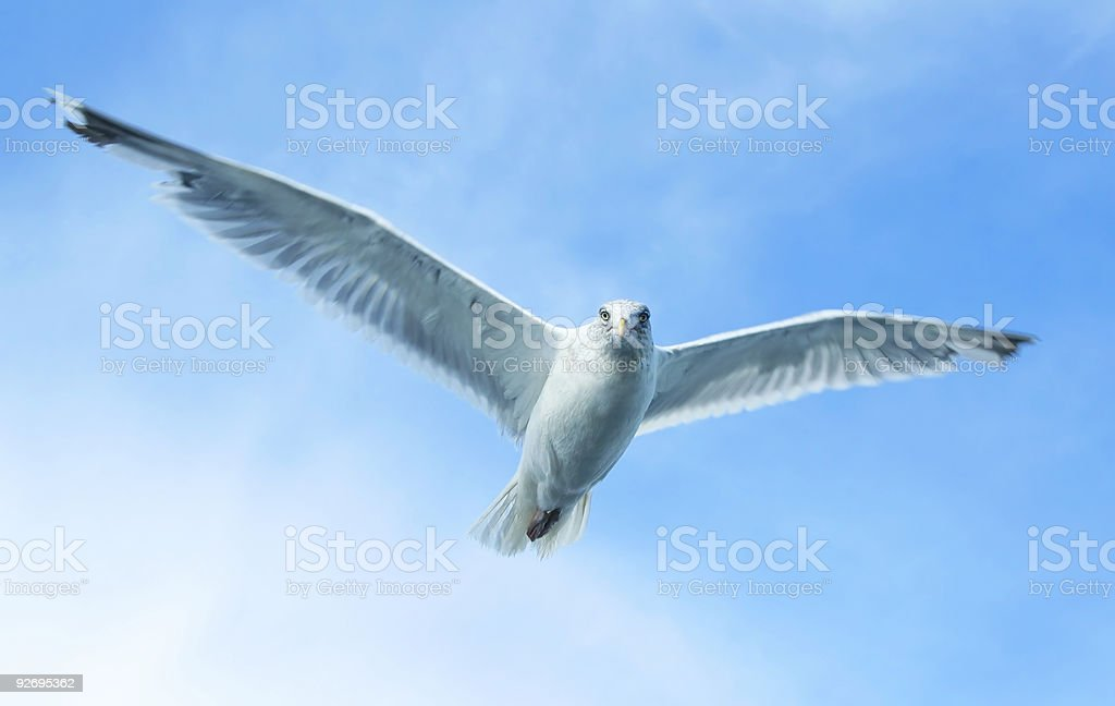 Big Gull Brother is watching you royalty-free stock photo