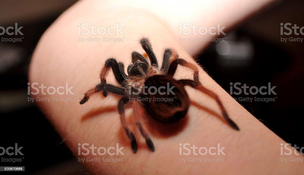 Big hairy spider stock photo