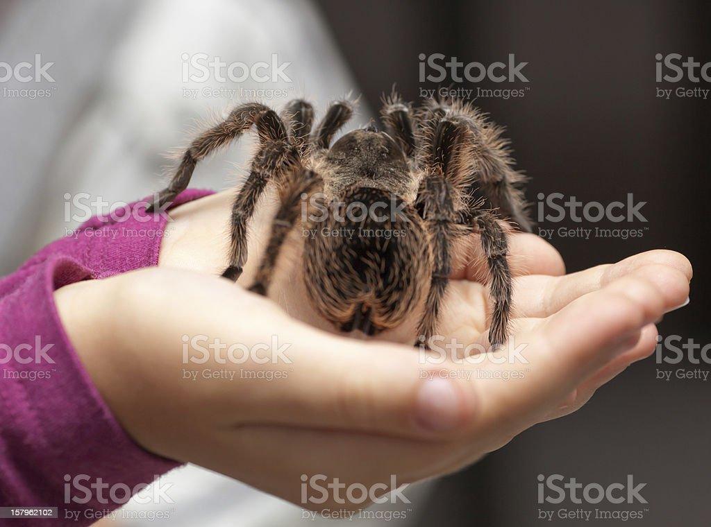 Big hairy tarantula stock photo
