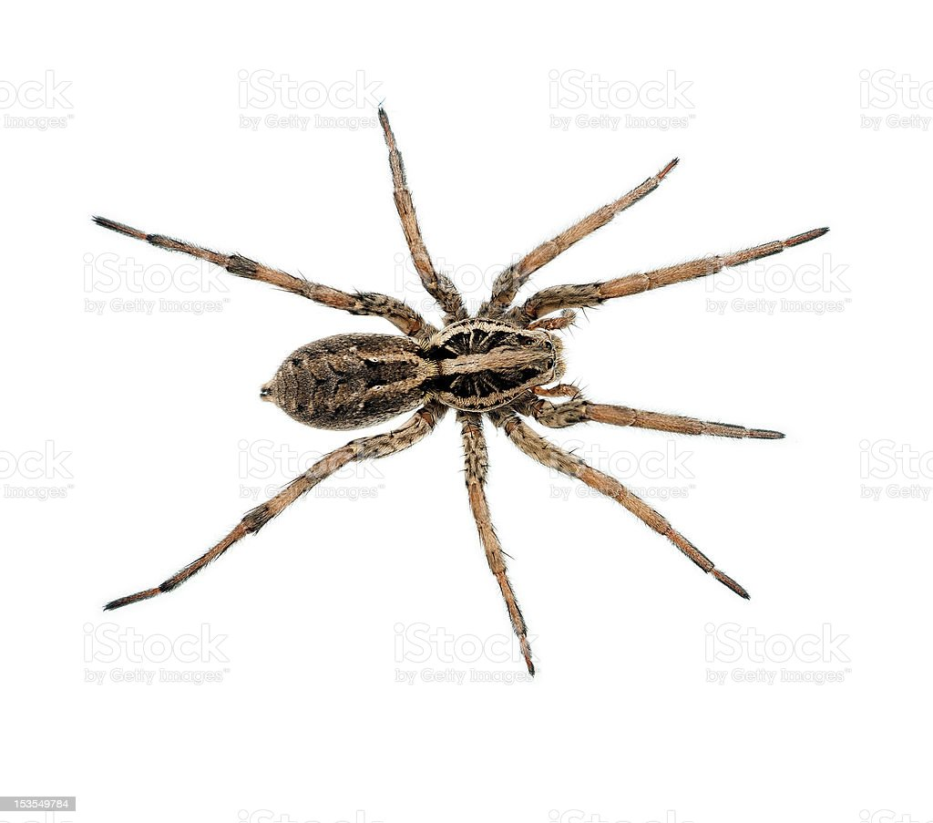 Big hairy ugly spider macro, isolated stock photo