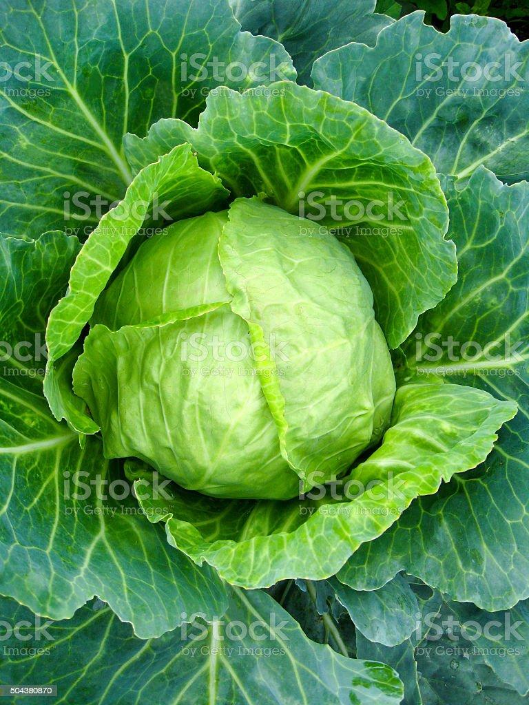 Big head of cabbage stock photo