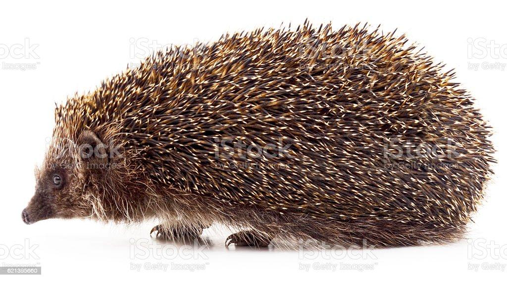 Big hedgehog. stock photo