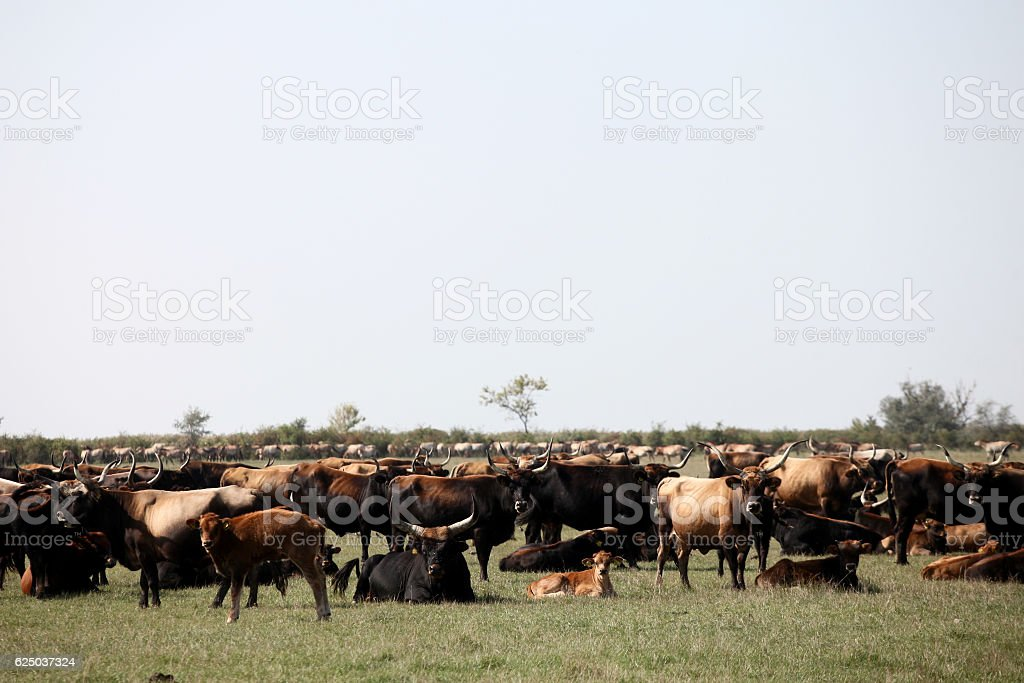 Big herd of aurochs stock photo