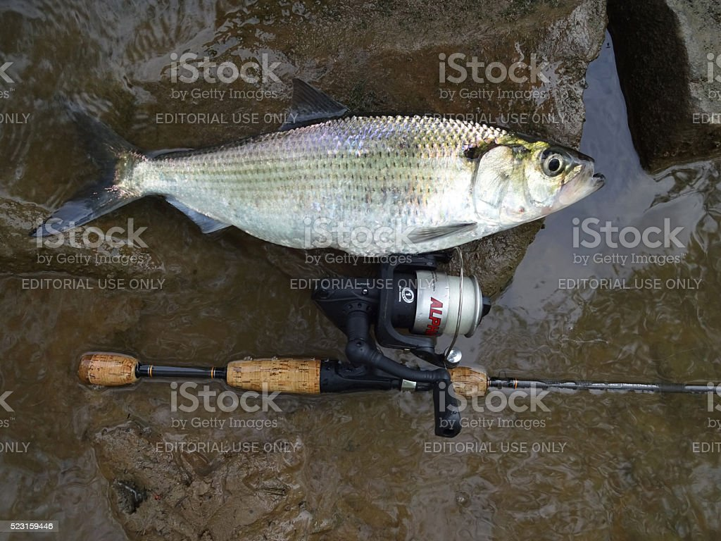 Big Hickory Shad and Fishing Tackle stock photo