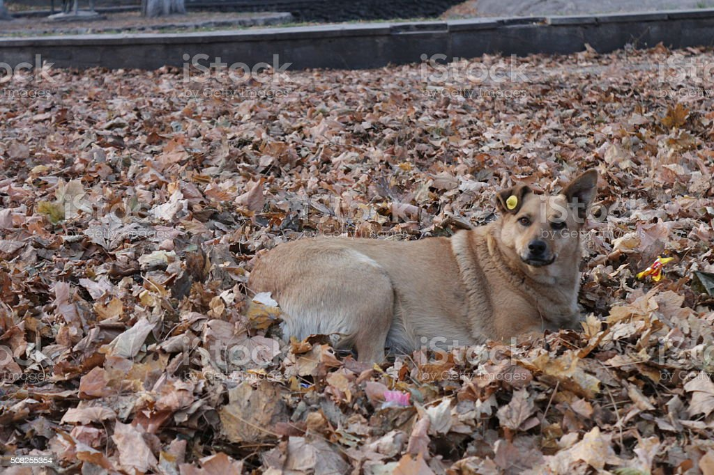 Big homeless dog in autumn leaves stock photo