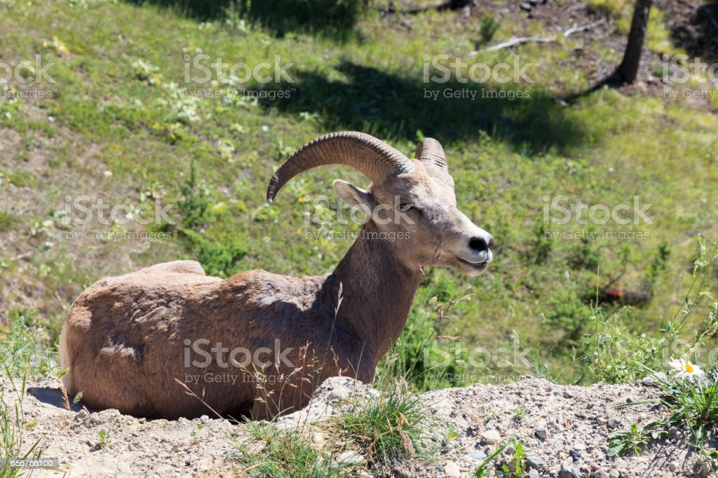 Big Horn at Radium hot springs stock photo