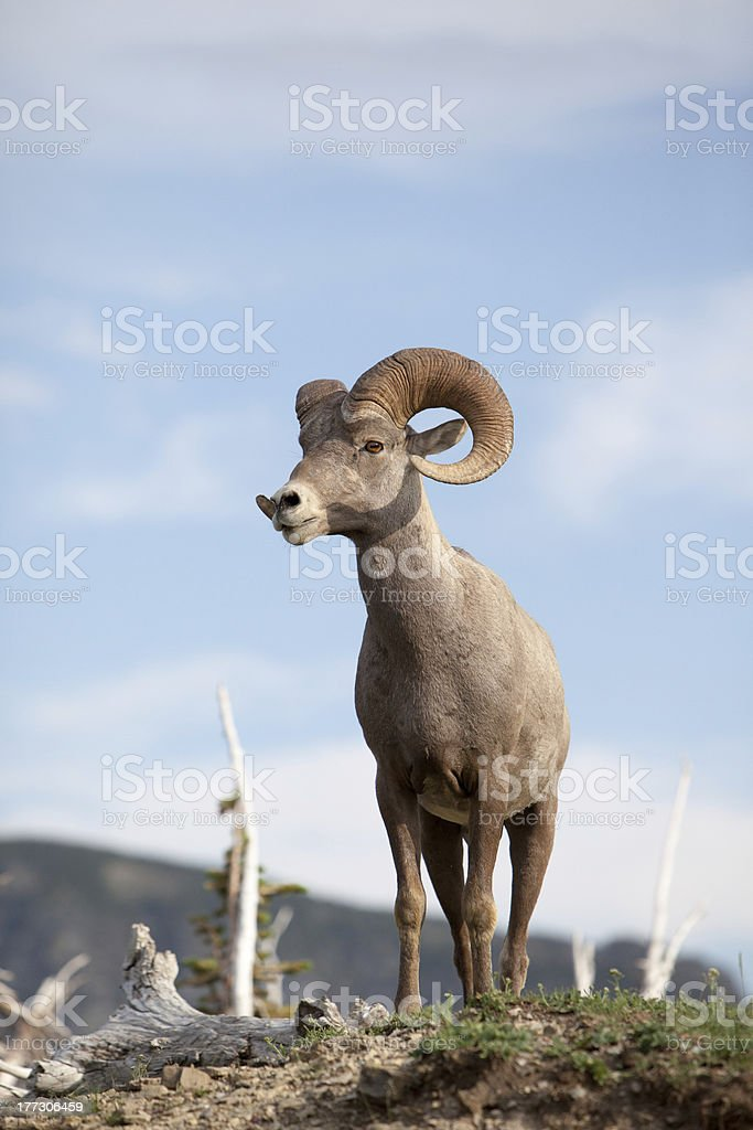 Big horn male ram sheep royalty-free stock photo