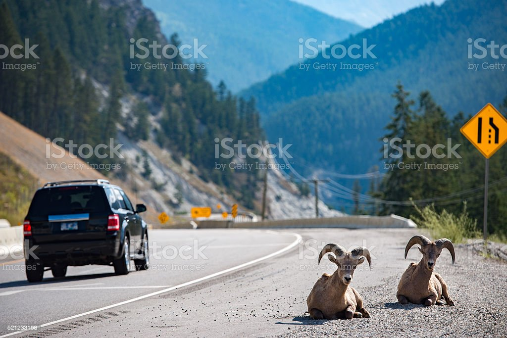 Big Horn near highway portrait stock photo