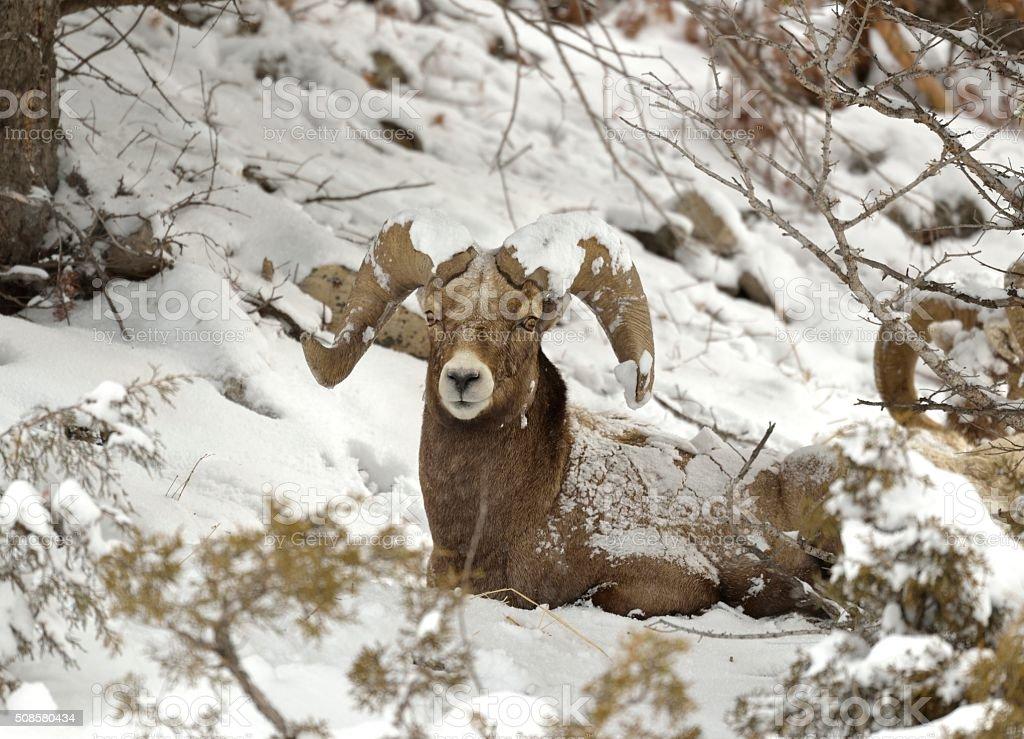 Big Horn Ram stock photo