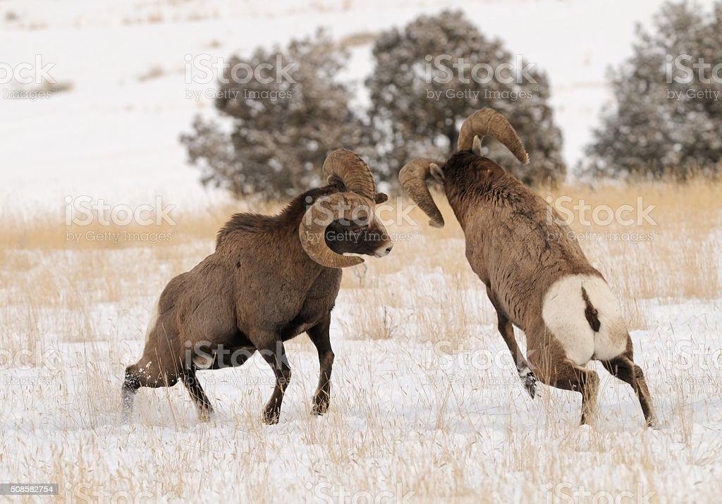 Big Horn Rams stock photo
