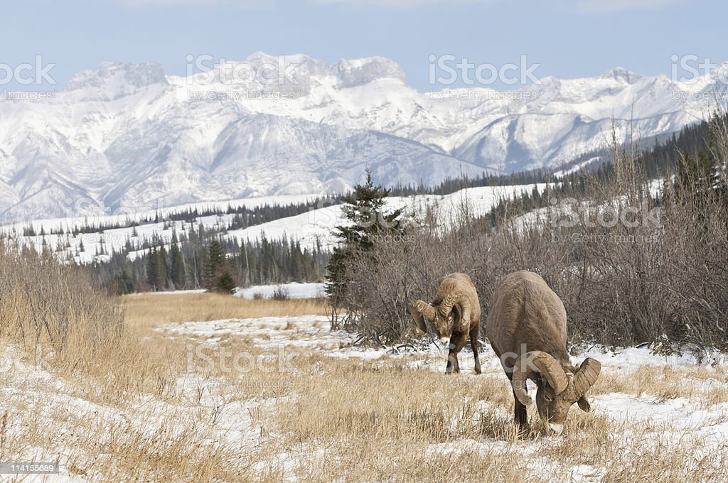 Big Horn sheep enjoying the fresh air royalty-free stock photo