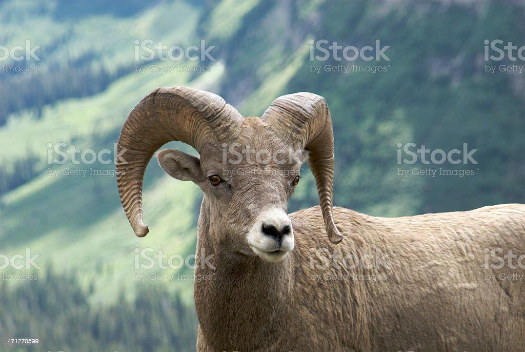 Big Horn Sheep in Glacier National Park, Montana stock photo