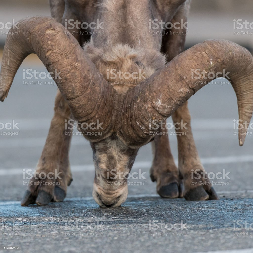 Big Horn Sheep Licking Pavement stock photo