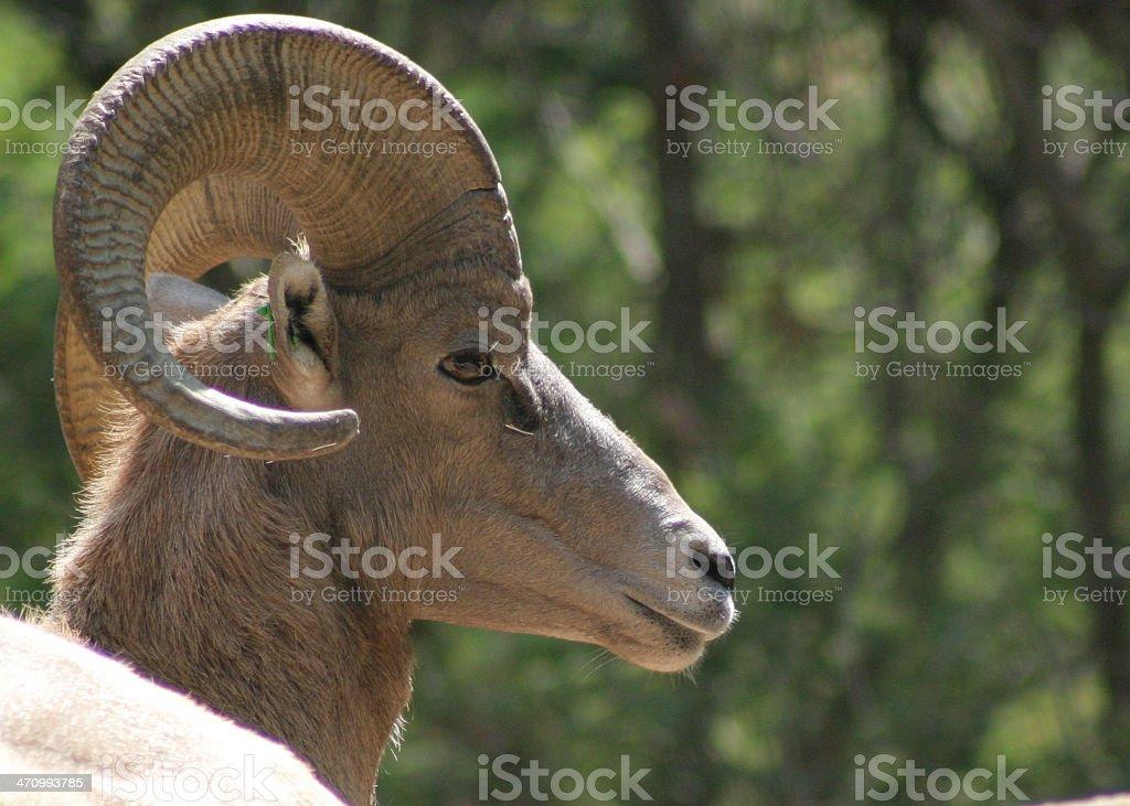 Big Horn Sheep royalty-free stock photo