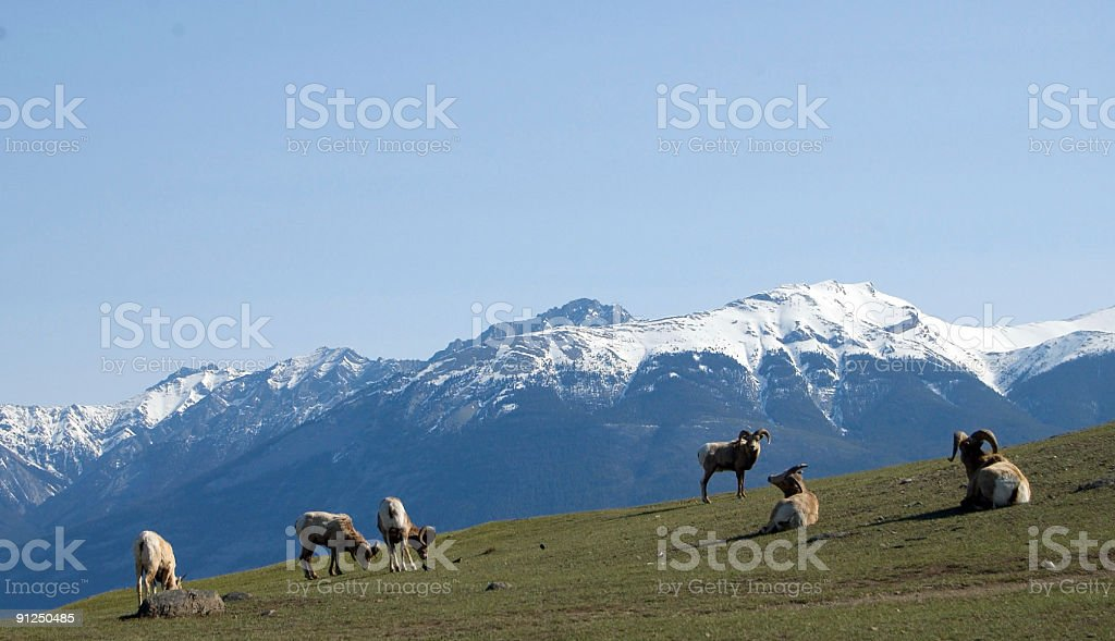 Big Horn Sheep- Rams on the Mountain royalty-free stock photo