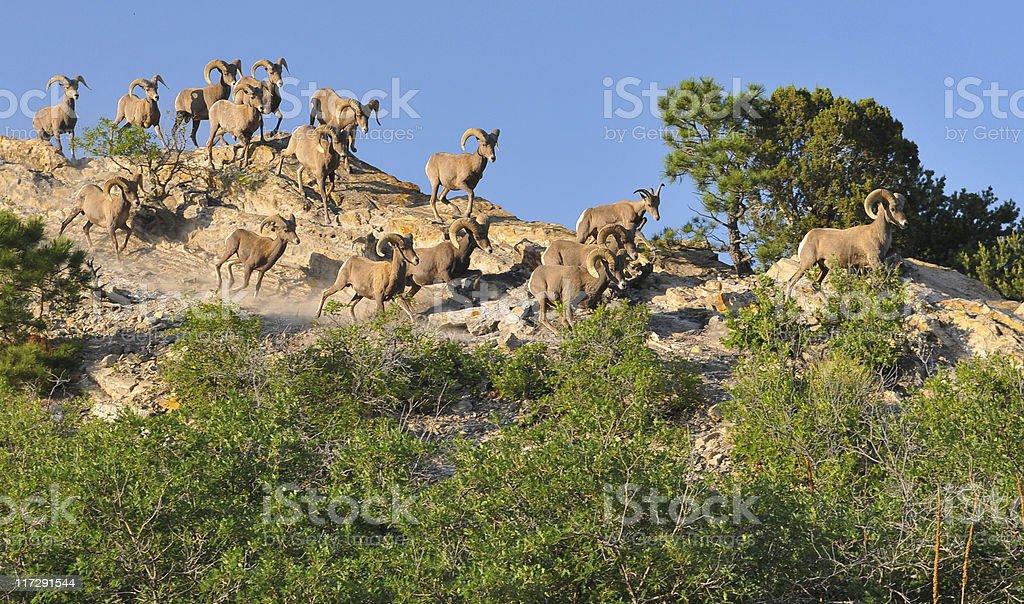Big Horn Sheep Running stock photo