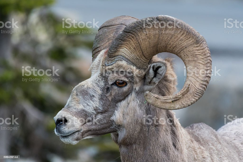 Big Horn Sheep Side View Looking Left stock photo