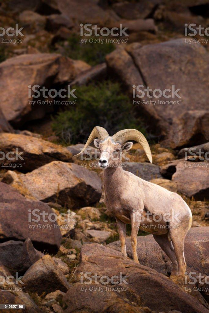 Big Horn Sheep. Single male Ram. stock photo