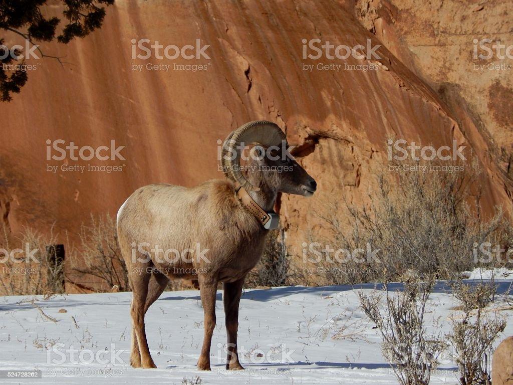 Big Horn Sheep with collar stock photo