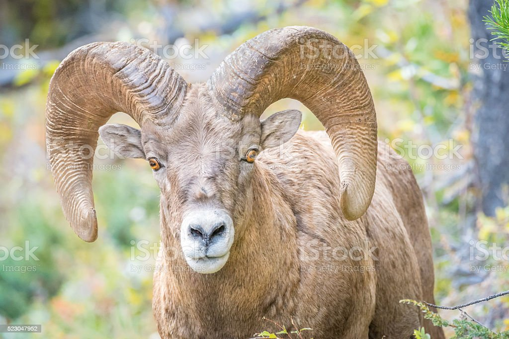 Big horn sheep with large horns stock photo