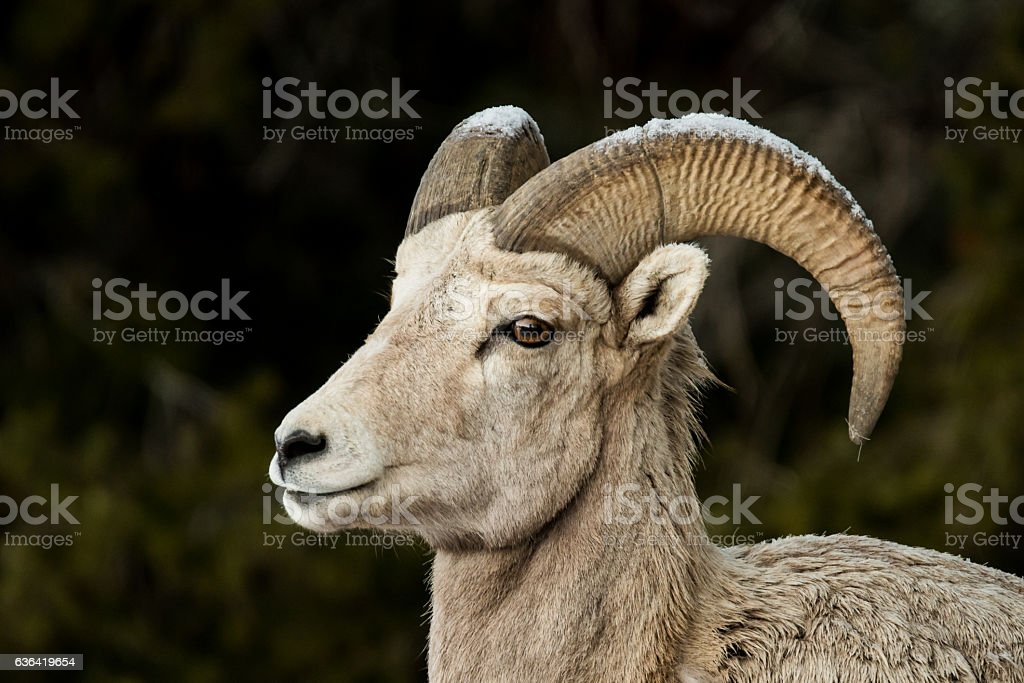 Big Horn Sheep with Snowy Horns stock photo