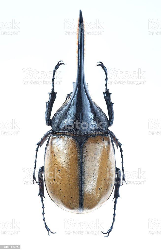 Big horned beetle(Dynastes hercules ecuatorianus) stock photo