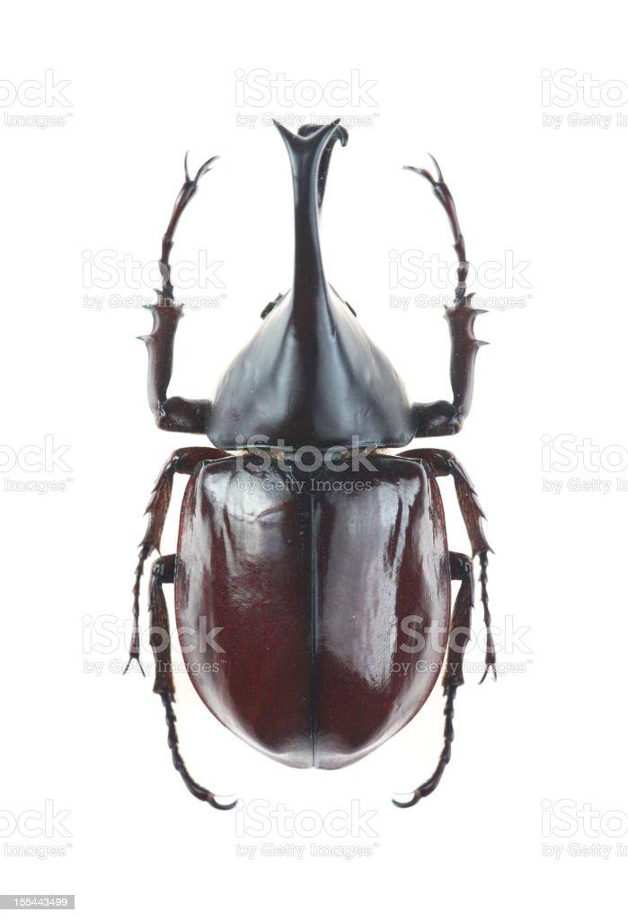 Big horned beetle(Xylotrupes gideon) stock photo