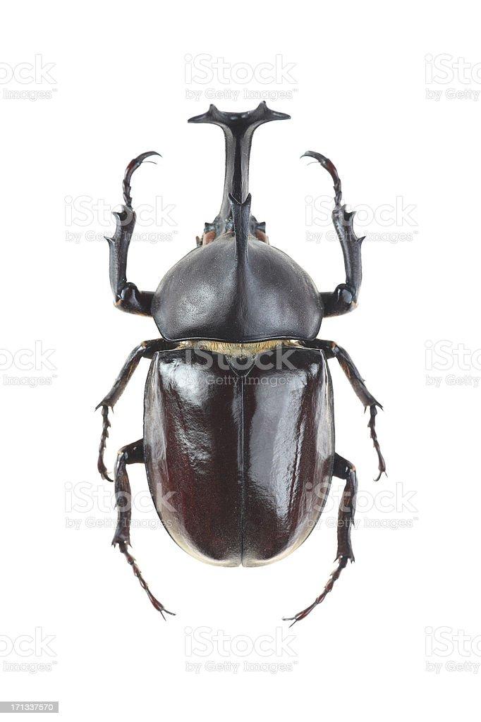 Big horned beetle(Allomyrina dithotomus) stock photo
