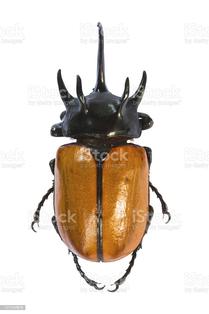 Big horned beetle. royalty-free stock photo