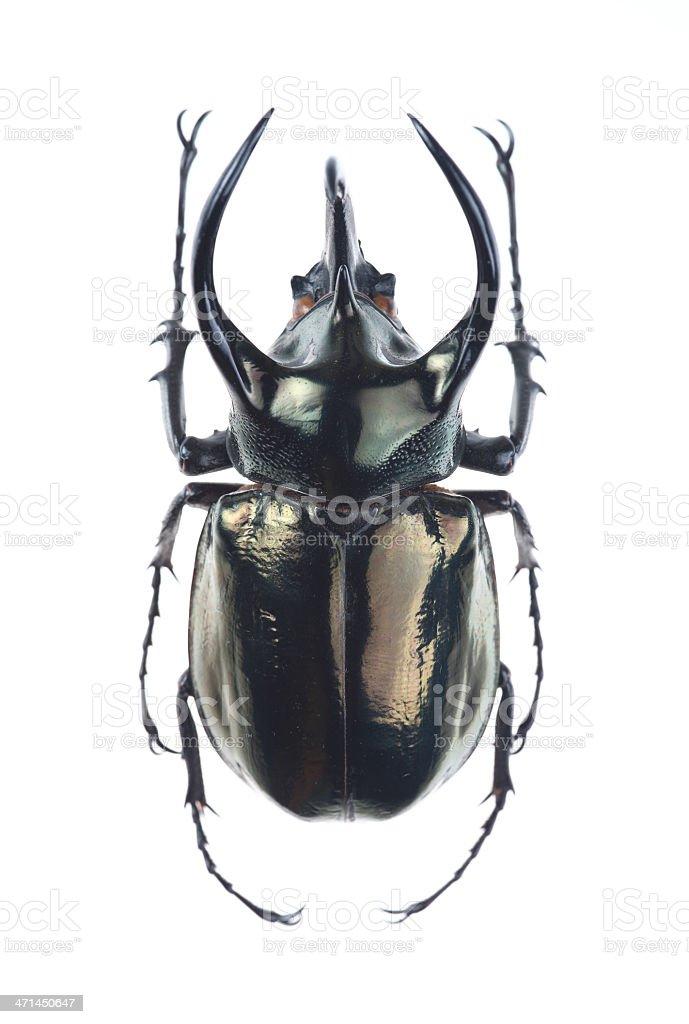 Big horned beetle(Chalcosoma atlas) stock photo