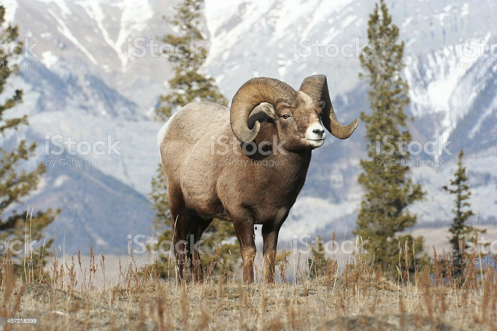 Big horned ram standing with trees, mountains in background stock photo
