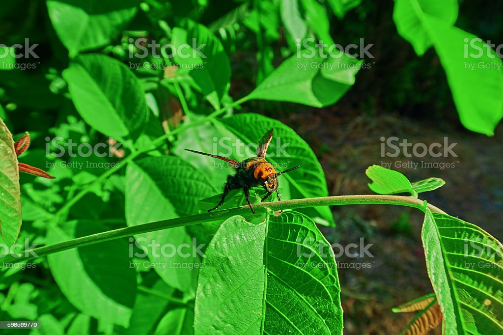 big hornet royalty-free stock photo
