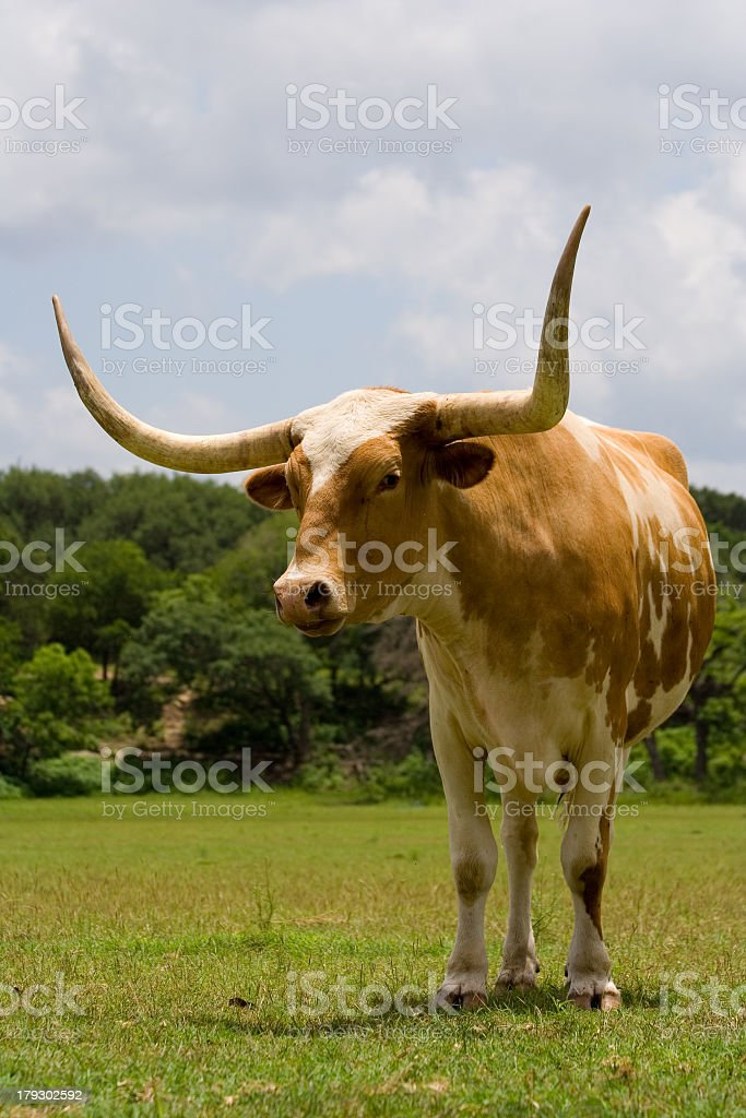 Big Horns royalty-free stock photo