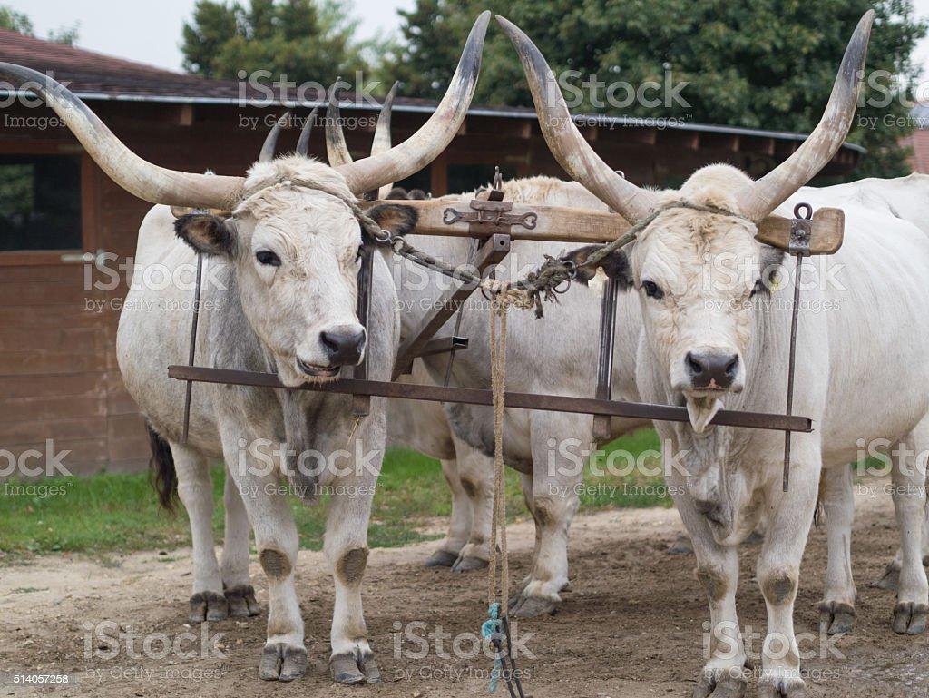 big hungarian grey cattle stock photo