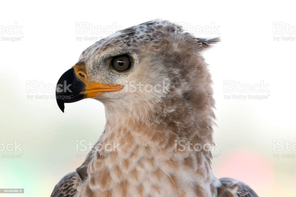 young Crowned Eagle headshot
