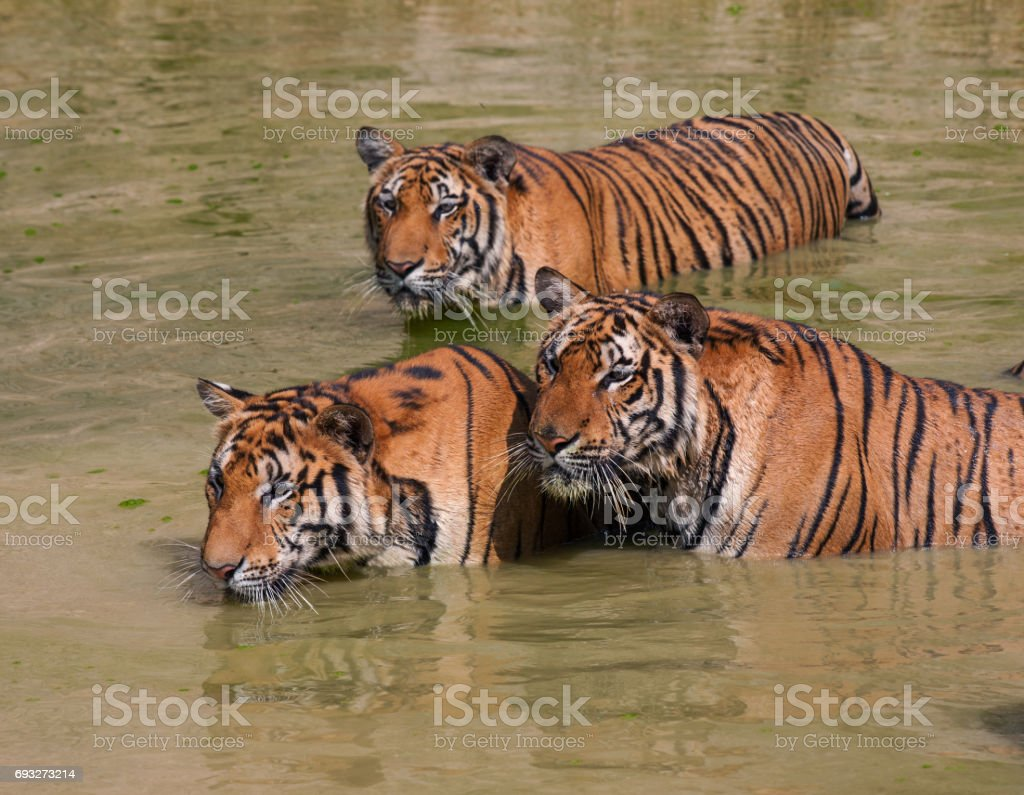 Big Indo-Chinese tigers in the lake on a hot day... stock photo