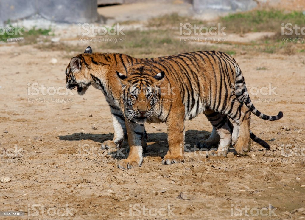 Big Indo-Chinese tigers on a hot day...  Tiger Temple, Kanchanaburi, Thailand stock photo