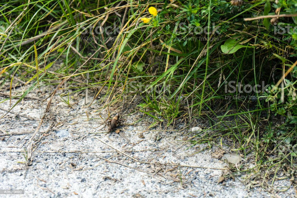 big insect chorhippus brunneus on path stock photo
