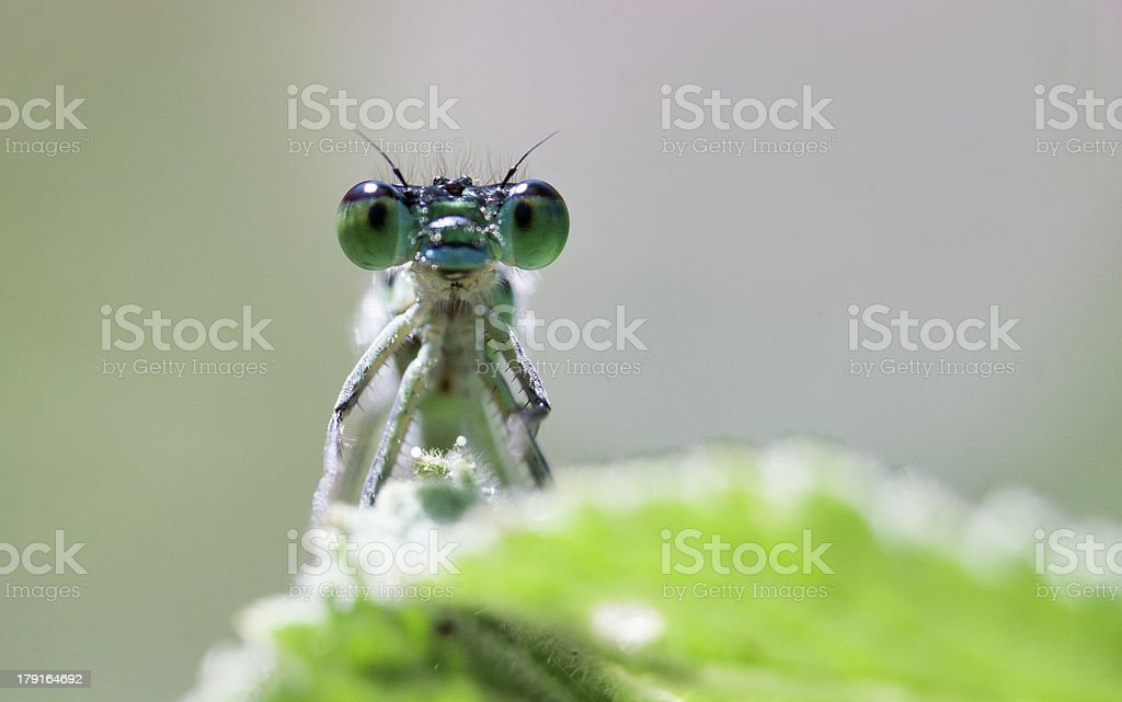 Big insect eyes royalty-free stock photo