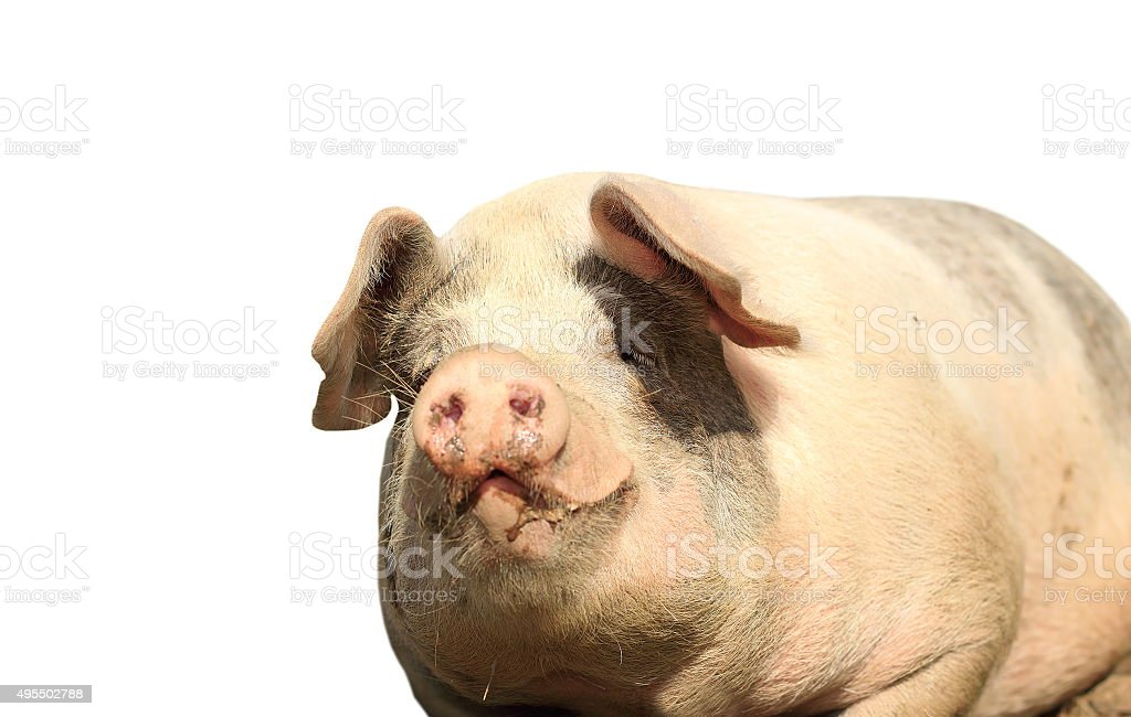 big isolated sow portrait stock photo